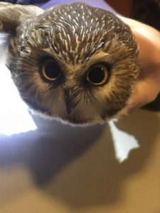 Saw-whet owl banding research